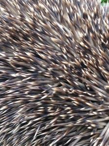 hedgehog spine
